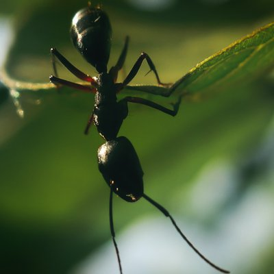 How much weight an ant can lift?