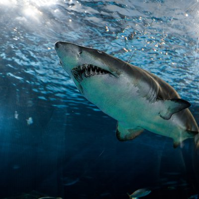 Did you know sharks have to keep swimming to remain alive?